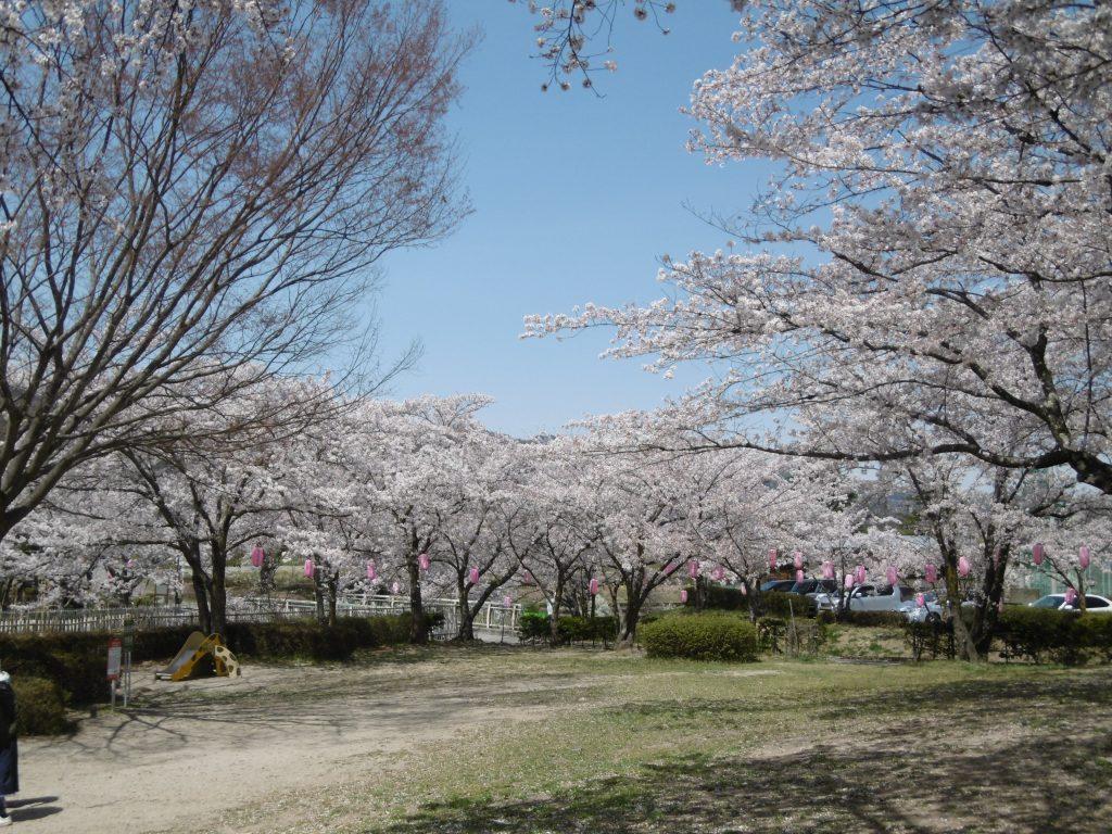 4月はお花見を行いました。