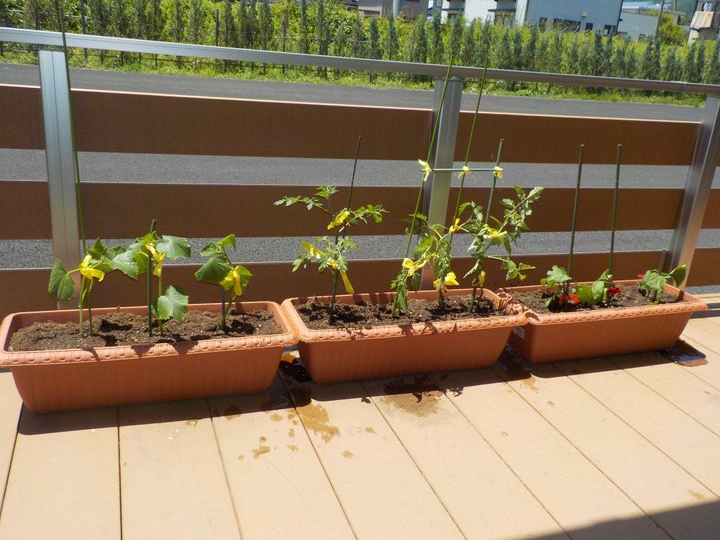 野菜の苗を植えました